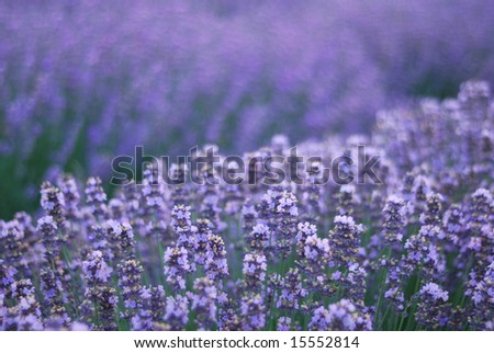Aromatic  lavender field. close-up of  herbal plant - stock photo