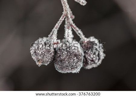 Aronia berries in the frost close up - stock photo