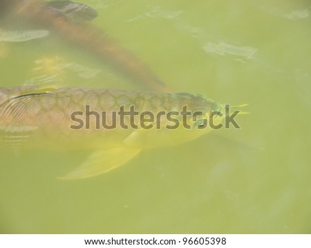 Arowana fish underwater in pond