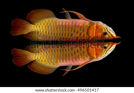 Arowana fish with reflections effect