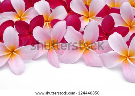 Arrangement of Frangipani flowers - stock photo