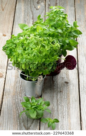 Arrangement of Fresh Raw Green Basil Leaves with Water Drops in Purple Watering Can, Tin Bucket and Bowl closeup on Rustic Wooden background - stock photo