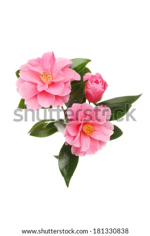 Arrangement of magenta camellia flowers and foliage isolated against white - stock photo