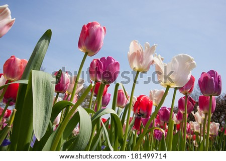 Arrangement of multiple colored tulips in a bright sunny day in The Netherlands - stock photo