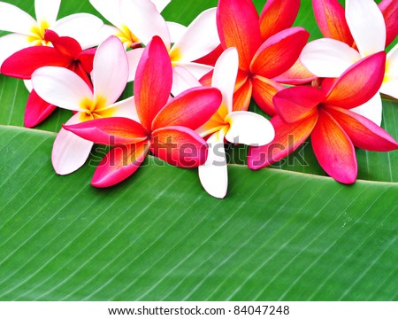 Arrangement of red and pink Plumeria on banana leaf - stock photo