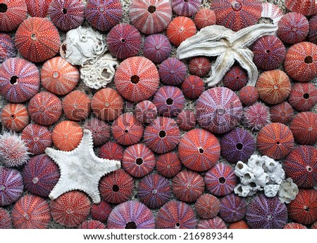 Arrangement of red sea urchin tests and starfish collected at Norwegian coast. Closeup, daylight.  - stock photo