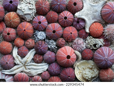 Arrangement of red sea urchins, shell and starfish found at Norwegian coast. Closeup, daylight.  - stock photo