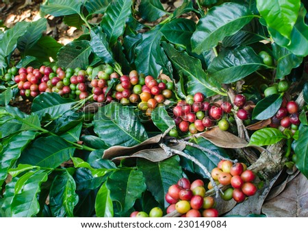 arsbica coffee berries on tree - stock photo