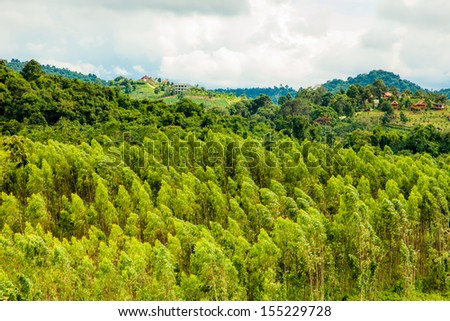art of landscape of eucalyptus field in Wang Nam Keaw district, Thailand