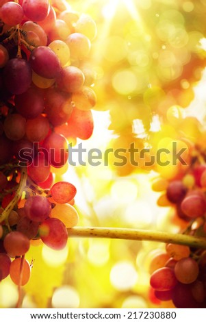 Art Ripe grapes on a vine with bright sun background. Vineyard harvest season.  - stock photo