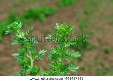 Artemisia absinthium (absinthium, absinthe wormwood, wormwood, common wormwood, green ginger or grand wormwood). Artemisia absinthium , absinthe wormwood close up. Leaves of absinthe wormwood plants - stock photo
