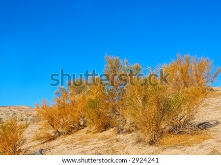 Artemisia californica, also known as California sagebrush, of the Asteraceae, is a shrub that grows in and is native to California, USA, photographed at Death Valley National Park. - stock photo