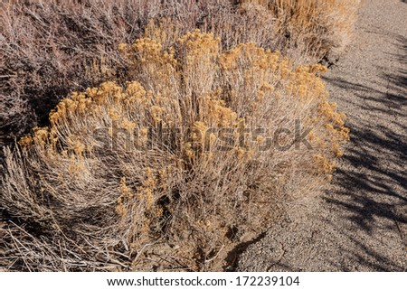 Artemisia tridentata is an aromatic shrub from the family Asteraceae, which grows in arid and semi-arid conditions, throughout a range of cold desert, steppe, and mountain habitats  - stock photo
