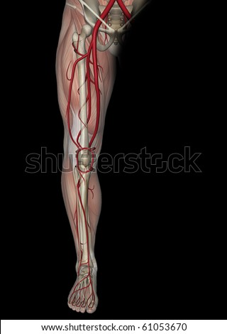 Arteries of the Leg