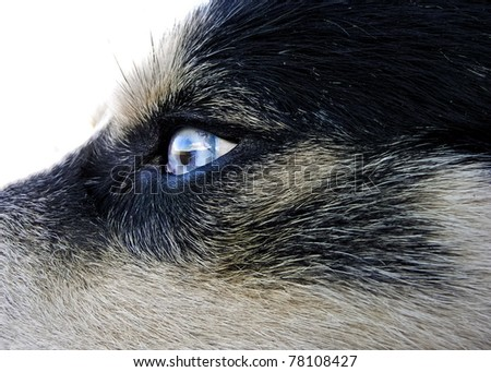 Artic wolfhound blue eye detail with reflection - stock photo