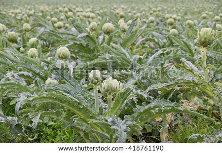 artichoke growing in field background   - stock photo