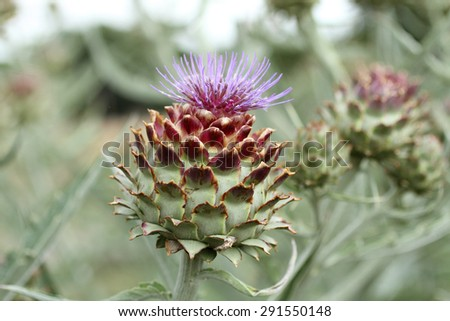 Artichokes in bloom in a garden.