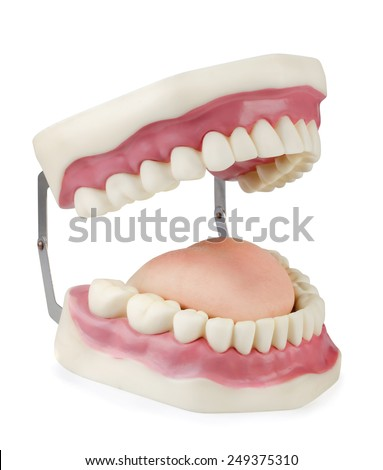 Artificial dental model isolated on white - stock photo