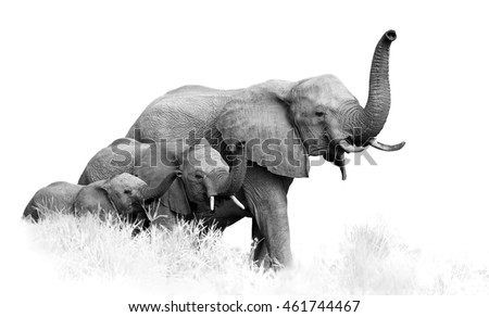 Artistic, black and white photo of three African Bush Elephants, Loxodonta africana, from adults to newborn calf, coming togther with trunks raised, isolated on white with a touch of environment.