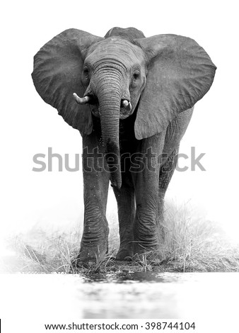 Artistic, black and white vertical photo of African bush elephant, Loxodonta africana, big tusker from front view drinking water, isolated on white background with a touch of environment. Kruger, SA. - stock photo
