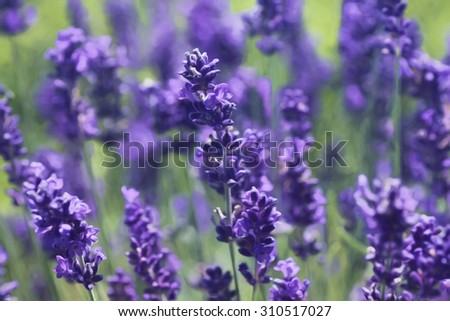 Artistic composition Close-up of lavender flower