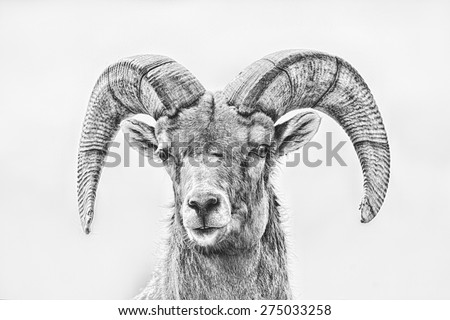 Artistic Intent; Big Horn Sheep photo with sketch and black and white filter applied; full front close up looking at photographer - stock photo