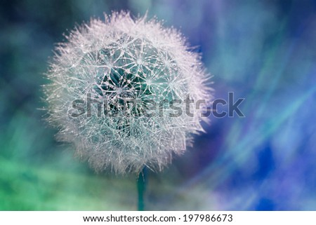 Artistic Macro of colorful wet fluffy dandelion seed head