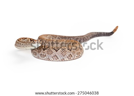 Aruba Rattlesnake - A critically endangered (CR) species of venomous pitviper snakes mainly found in the Caribbean. Snake is coiled up and looking forward in a defensive stance. - stock photo