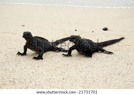 As a cold blooded animal, the marine iguana can spend only a limited time in the cold sea. They return to their territory to bask in the sun and warm up again. - stock photo