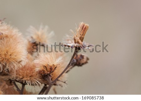 As an aster changes to it autumn colors, a single seed prepares to depart the flower's receptacle. The aster'??s remaining seeds still gather together like the bristles of a broom. - stock photo