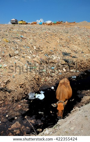 As garbage trucks dump trash, a cow drinks contaminated water from a polluted river next to hazardous, toxic waste at the biggest landfill site on the holiday resort island of Bali, Indonesia. - stock photo
