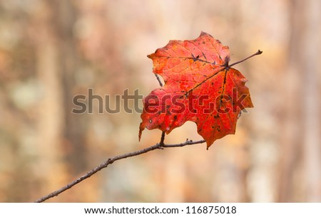 As the woodlands watch from afar, an impaled maple leaf slowly withers on a  branch. Delicately hanging, it changes into autumn colors in a last gasp attempt to be noticed among all others. - stock photo
