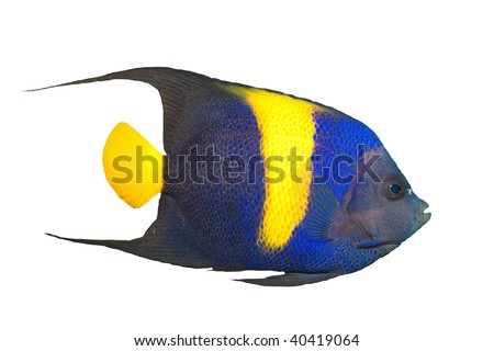 Asfur Angelfish isolated on white