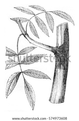 Ash branch with its roots in, vintage engraved illustration. Magasin Pittoresque 1844.