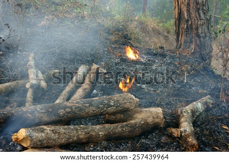 Ash from burn dry grass in pine forest,  - stock photo