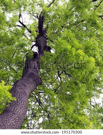 ash tree in spring - stock photo
