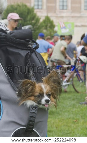 Asheville, North Carolina, USA - August 4, 2014:  Close up of a cute, tiny, dog peeking its head out of a backpack it's being carried around in on August 4, 2014 in downtown Asheville, NC - stock photo
