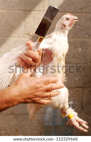 ASHKELON - OCTOBER 01: Live chicken during the act of the ritual Kapparot - kills a chicken. on October 1, 2006 in Ashkelon, Israel - stock photo