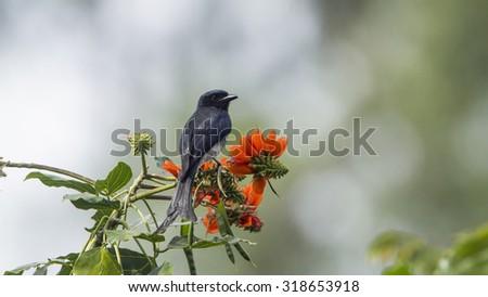 Ashy drongo in Ella, Sri Lanka ; specie Dicrurus leucophaeus  - stock photo