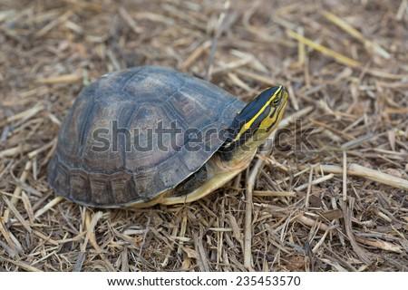 Asia Box Turtle (Cuora spp.) in Thailand - stock photo