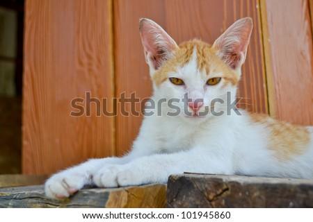 asia cat lain nice eye of thailand southeast asia - stock photo