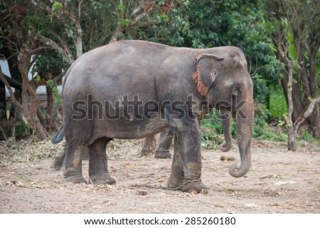 Asia elephant in the hill tribe village