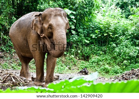 Asia elephant in the jungle - stock photo