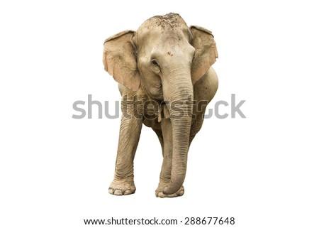 Asia elephant on isolated white background. - stock photo