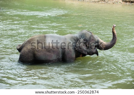 asia elephant taking a bath in river of northern thailand
