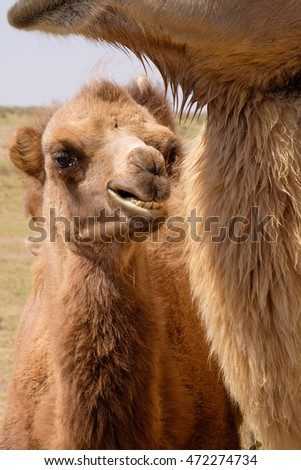 Asia, Mongolia, Western Mongolia, Lake Tolbo, Bactrian camels (Camelus bactrianus). The wild camel name Camelus ferus  for the remote herds of Mongolian camels.