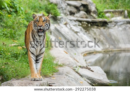 Asia Tiger in Zoo - stock photo