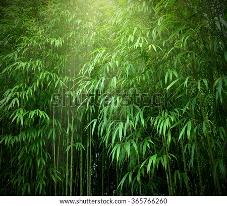 Asian Bamboo forest with sunlight. - stock photo