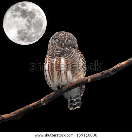 Asian Barred Owlet (Glaucidium cuculoides) sleeping on perched and the moon - stock photo