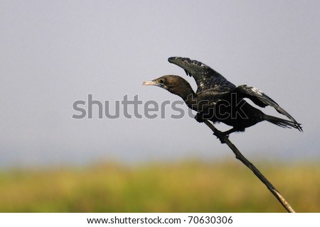Asian black Cormorant about to take off. - stock photo